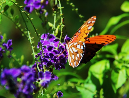 Gulf Fritillary on skyflower.Host plant is native Passionvine. EXOTIC PASSIONVINE WILL KILL THE CATERPILLARS. More about that in some other post. One or two exotics are safe but you must do the research before planting to ensure you have the safe species of passionvine.       Photo. Oct. 2013