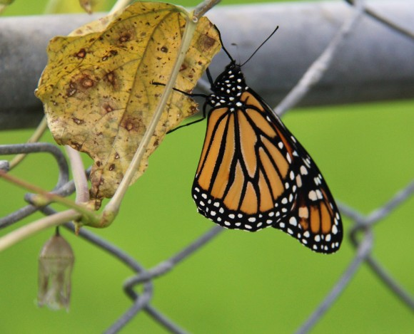 Monarch drying its wings in semi shade. Chrysalis lower left just below dried leaf.