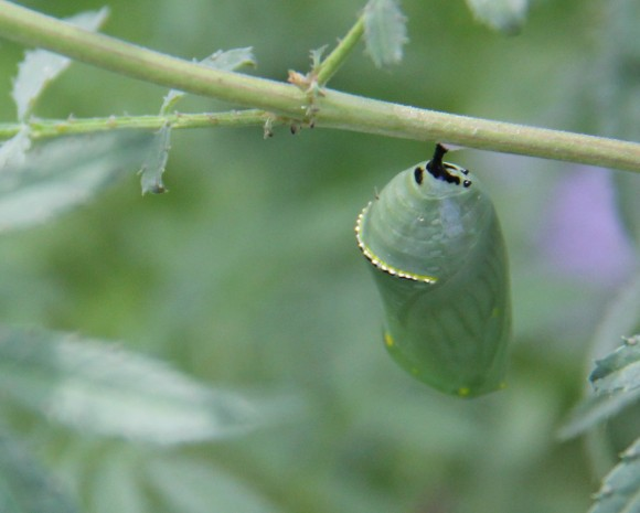 Jade green chrysalis, with gold rim at the top. Firmly attached to a twig