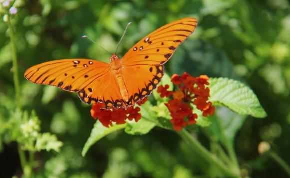 Gulf fritillary nectaringon Lantana