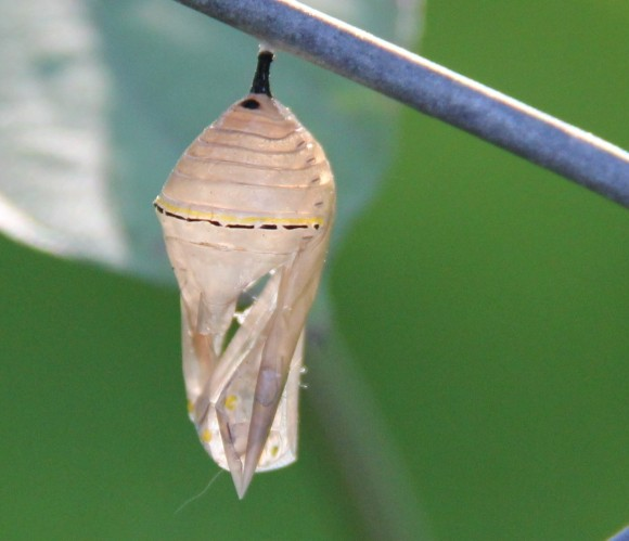 Chrysalis of Monarch butterfly. Its former home where  it changed from caterpillar to a butterfly