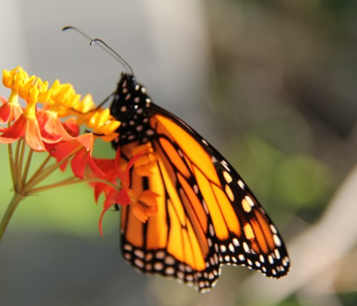 """Newborn"""" Monarch. My Lt. hand held bloom and Rt. hand held camera. Last pic before it flew away."""