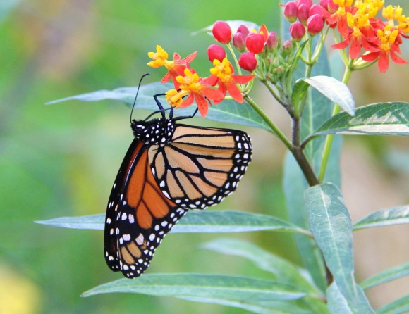 Monarch nectaring on Mexican Butterfly Weed