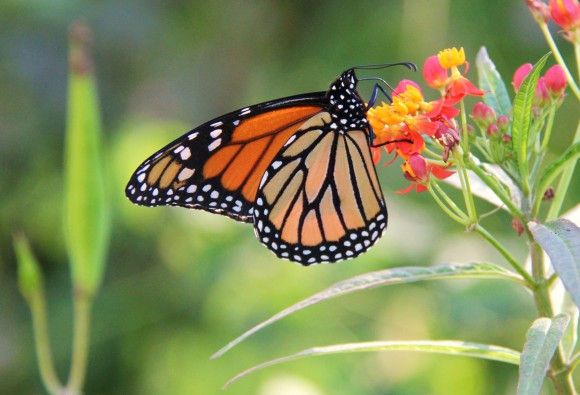 Monarch nectaring on Mexican butterfly weed. Photographed early Nov. 2013