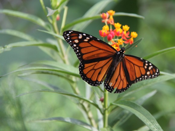 Monarch reallyt likes Mexican Butterfly Weed. Most of them favored this plant to the native Frostweed in my yard.