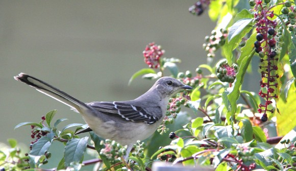 "Mockingbird in the Pokeberry plant. It was pure luck to get these shots of the Mockers since generally they woud fly ""into the plant"" where they were obscured by the foliage. A few of the birds happened to land atop some of the outer branches. This one was keeping his eye on me and about ready to fly."