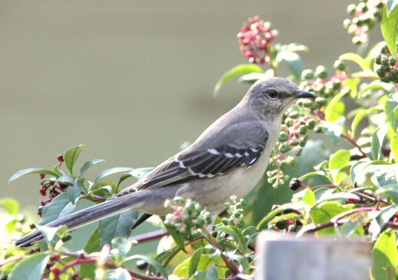 Mockingbird in the Pokeberry plant.  The berries are a favorite staple after the figs are all gone. There were birds in and out of this large Pokeberry from early morning until around 6pm-CDT (central daylight time) every day until the plant was depleted of berries. This large Pokeberry was about 7 feet tall and it returns from the roots each spring to grow taller than the year before.  There are several in the yard but this one is the largest since I give it extra water during the summer months. Great bird attracter! Mockingbird is a resident bird. Quite a singer with a manhy different calls and songs. Sings at midnight sometimes in the summer/spring.