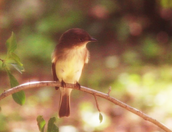 Eastern Phoebe perched on a branch over the bird bath watching for its turn to get a drink and take a dip. Photo shot through screened window hence the soft effect. Resident year round if winters are mild.  Photo September, 2013