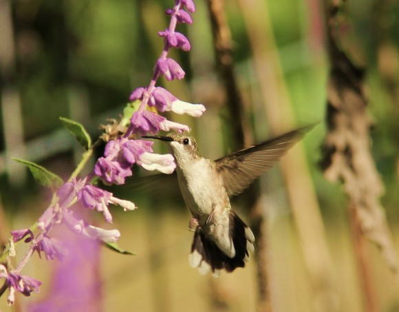 Black-chinned Hummingbird (probably-not positive of ID)Hummer aiming its long beak for the blossom of Mexican Bush Sage.
