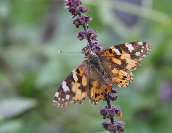 """Painted Lady-wingspan: 2-2.5""""  Nectaringon African Blue Sage. Note the tattered wings. This lady had seen some rough times. :-)"""