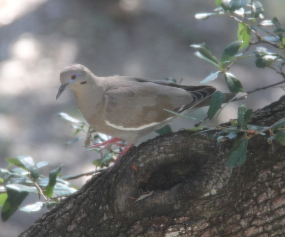 White Winged Dove on limb of Live Oak tree. Photographed through window screen. Sept. 2013