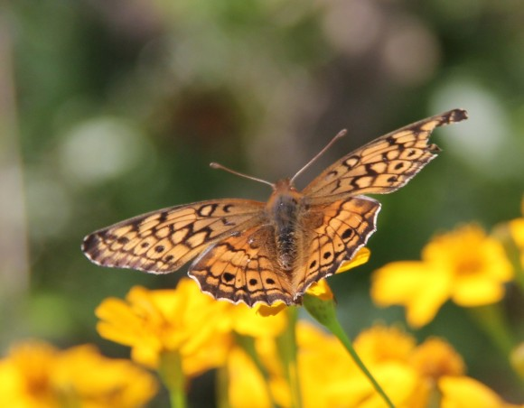 """Variegated Fritillary. Wingspan- 1.8-2.5"""". Nectaringon Copper CamyonDaisy. Note part of the upper right wingis missing. Host plants-Flax, Passionvine"""