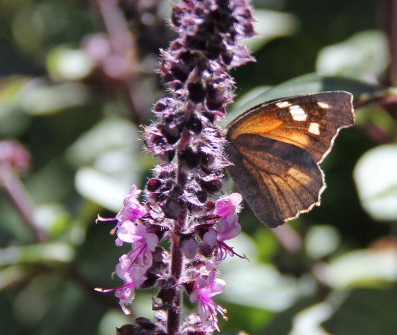 """American Snout showing underwing pattern. Wingspan: 1.6-1.8"""" This butter was nectaring on African Blue Basil."""