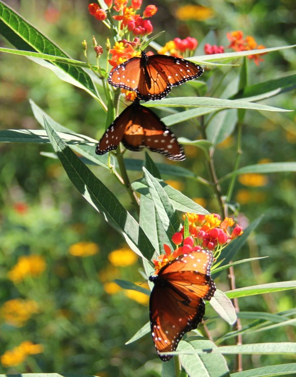 Three Queens  nectaring on Mexican Butterfly Weed