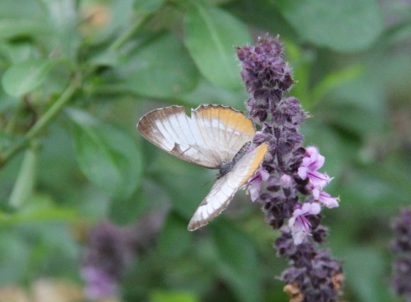 """Common Mestra(wingspan 1.5- 1.7"""") nectaring on African Blue Sage"""