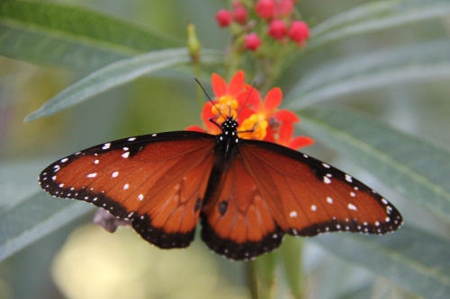 "Queen , male Wingspan: 3-3.5""  Nectaring on Mexican Milkweed. Host plants- Milkweeds  Photo: 11/17/2013"