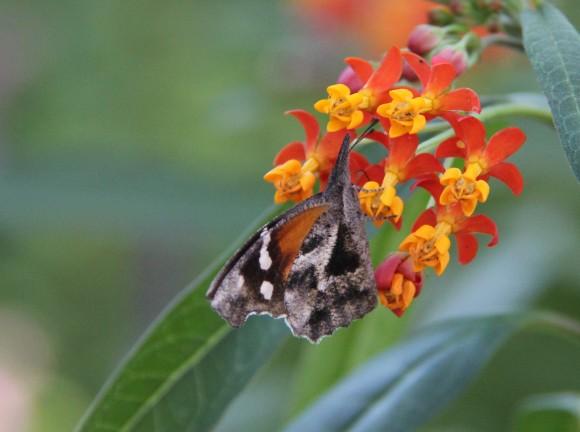 """American Snout. Wingspan: 1.6-1.8""""  Host plant- Hackberry tree"""