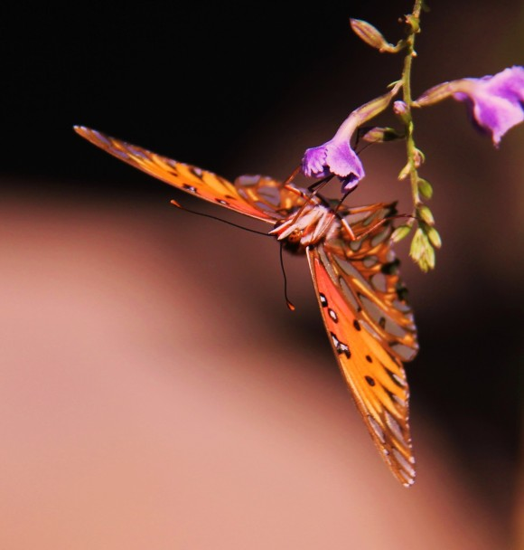 Gulf Fritillary nectaringon Skyflower(Duranta).I love the backgrpoundcolor of this photo. I don't use Photoshop and I have no idea how this color was achieved. I just know that it was a pleasant surprise. Photographed November, 2013.