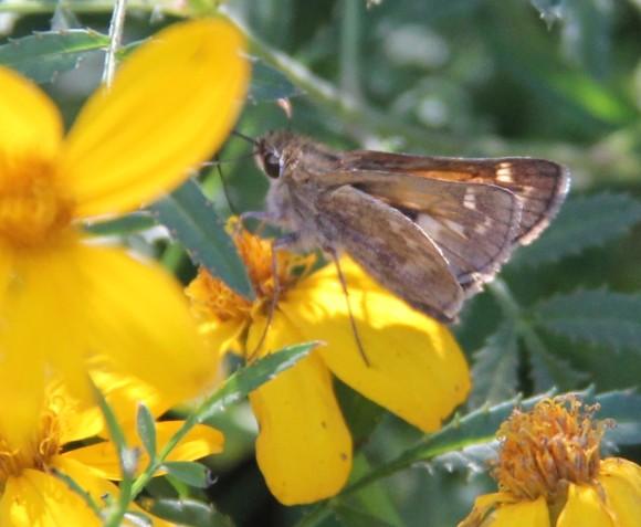 Sachem Skipper?  Not positive of ID. Nectaring on Copper Canyon Daisy November, 2013