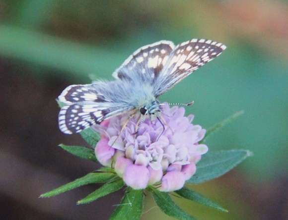 """White Checkered-skipper: (Wingspan-.8-1.2"""")  on Scabiosa. Look for the very slender dark coloredproboscis in the middle of the bloom. A very pretty dainty skipper. Host plants-Mallow, Sidas.  Photographed 12/3/2013"""