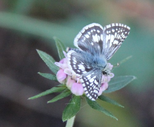 "White Checkered-Skipper on Scabiosa  Wingspan:   .8-1.2"" Photographed 12/3/2013"