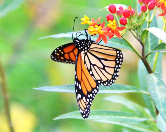 Monarch nectaring on Mexican Milkweed  11/17/2013