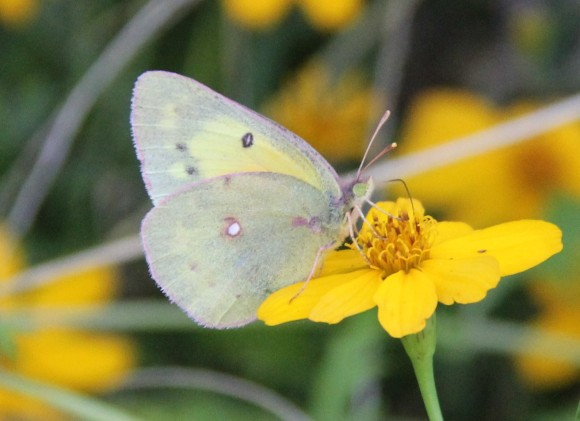 """Orange Sulphur? Wingspan: 1.5-2.5""""   Not sure of ID but I think this is correct - looks like the photos in the ID guides. :-) Nectaring on Copper Canyon Daisy.  Host plants-Clover, Vetch, Bluebonnets. Photo : 12/3/2013"""