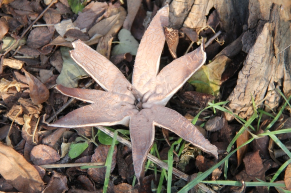 Chorioactis geaster AKA Devil's cigar, orTexas star. Photographed 12/25/2013