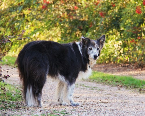 Lady: Border collie: March, 1998 to June 3,2014 She belonged to my son, Danny. She lived to be near him and to ride in the truck. Lady's story begins below