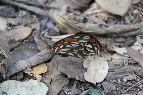 Gulf Fritillaries (agraulis vanillae)  Furthering the species