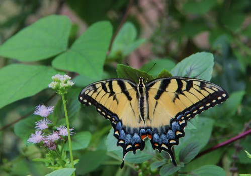 "Eastern Tiger Swallowtail (papilio glaucus  Wingspan: 3.5""-5.5"" This photo taken 9/2014. Butter was resting on a leaf."