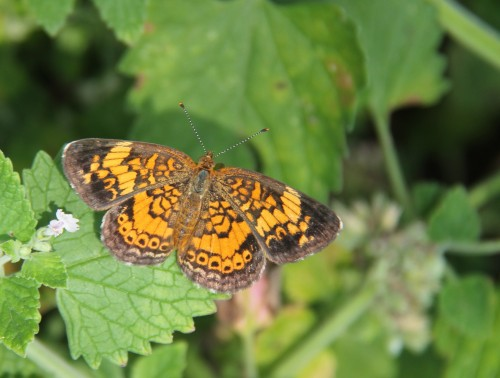 "Pearl Crescent (phyciodes tharos) wingspan: 1""_ 1.5"" Host plant in my yard- native fall Aster. Also a favorite nectaring plant of this butter."