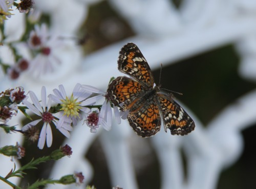 "Phaon Crescent (phyciodes phaon) Wingspan: .8-1.2"" Nectaring on native Fall Aster"