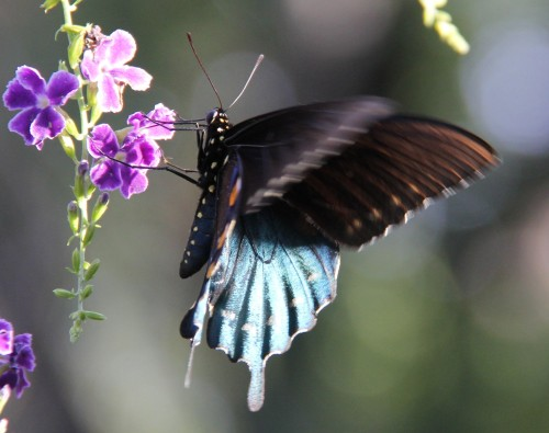 "Pipevine Swallowtail (battus philenor)  Wingspan: 2.8""-4""   This photo taken in 2013.  No energy this year when this butter appeared. Note the metallic blue of the hindwings, Constant fluttering of  the wings. Difficult to photograph."