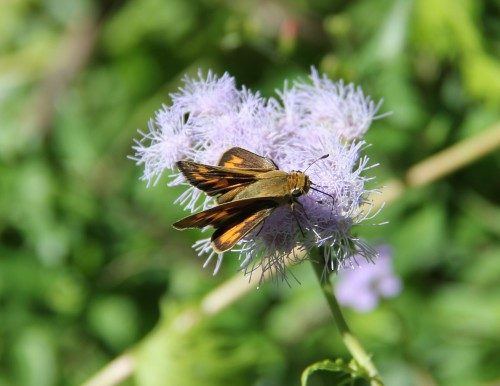 "Skippers are difficult for me to ID. I am calling this one a Sachem (atalopedes campestris) Wingspan: 1-1.5"" Host plant in my yard: Bermuda grass."
