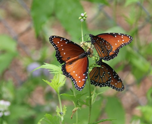 Queens  x3 nectaring on Blue Mist Flower which grows rampant in my butterfly patch. It has no insect or disease problems.