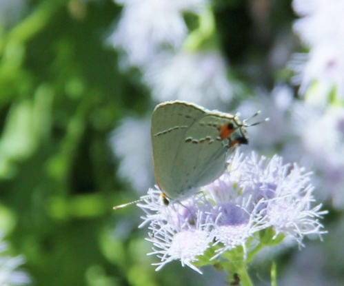"Gray Hairstreak (strymon melinus) wingspan: 1""-1.2"" nectaring on Blue Mist Flower. Host plant in my yard- various flowers"