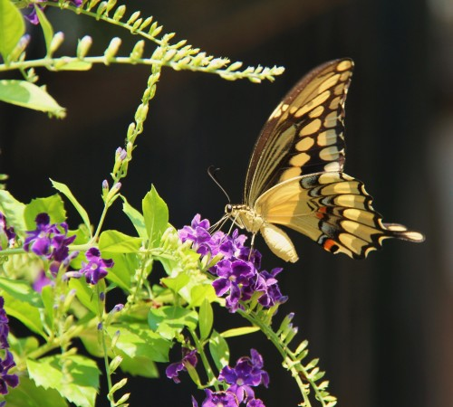 "Giant Swallowtail (papilio cresphontes)Wingspan: 4""-4.5""  Host plant in my yard -Common Rue which is in the citrus family."