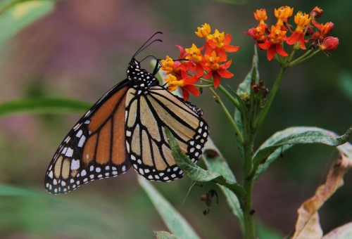 "Monarch (danaus plexippus) Wingspan: 3.5""- 4""  nectaring on Mexican Butterfly Milkweed (non-native host and nectar plant)"