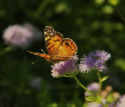 "American Lady (Vanessa virginiesis) wingspan: 1.8""-2.5"" Nectaring on Blue Mist flower 10-16-2014"