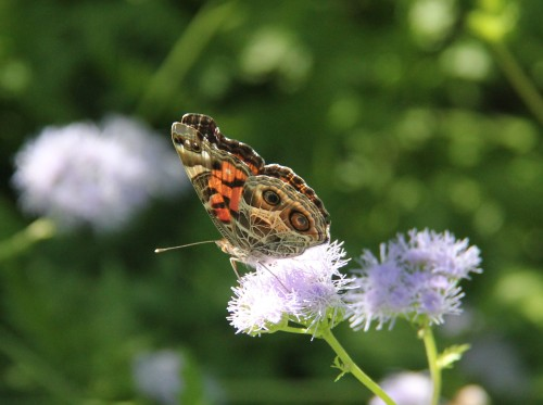 "American Lady (vanessa virginiesis) Wingspan 1.8""-2.5"" Nectaring on Blue Mist Flower. Note 2 underwing spots that distinguishes from Painted Lady"