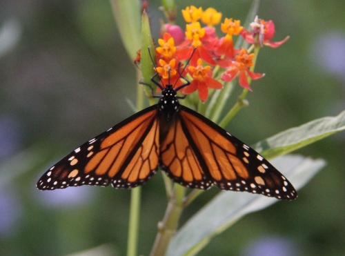 "Monarch (danaus plexippus) Wingspan 3.5""-4"" nectaring on non-native Mexican Butterfly milkweed in my butterfly patch"