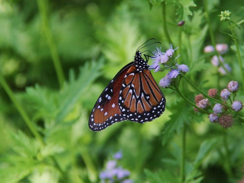 "Queen x1 (danaus gilippus) Wingspan: 3""-3.5"" Nectaring on blue mist flower."