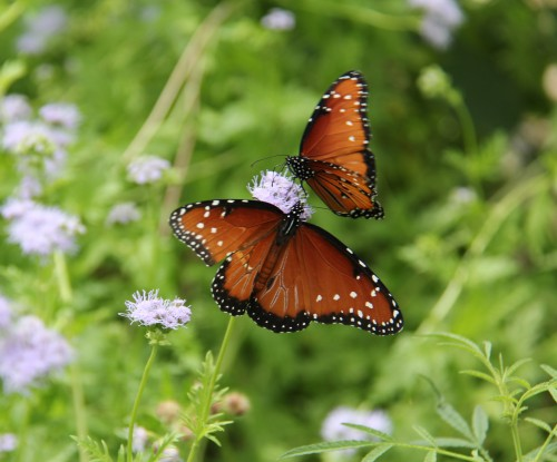 "Queens x2 (danaus gilippus) Wingspan: 3""-3.5"" Nectaring on blue mist flower."