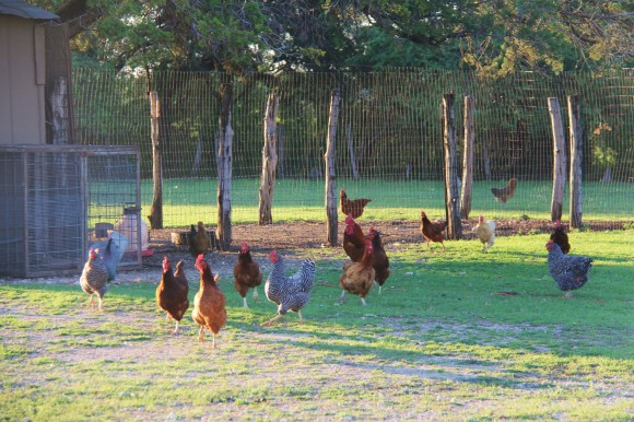 healthy country chickens